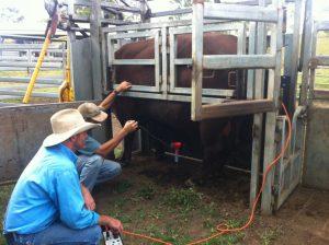 Collecting bull semen via electro-ejaculation