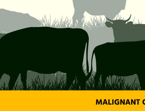 Malignant oedema – Preventable Diseases of Cattle