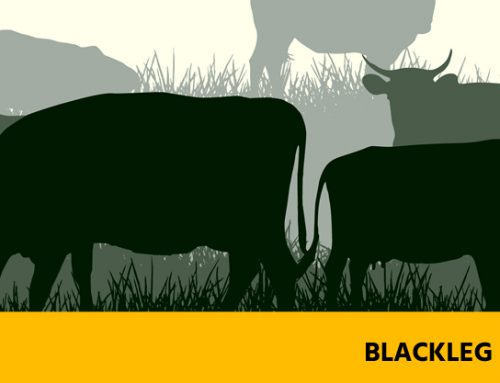Blackleg Disease – Preventable Diseases of Cattle