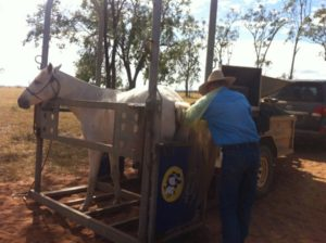 """Dr Bruce Howlett scanning a mare at """"Wieta"""" Middlemount. Our mobile horse stocks mean we can safely perform reproductive scans on property."""