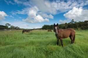 """Horses grazing at """"Leilavale"""""""